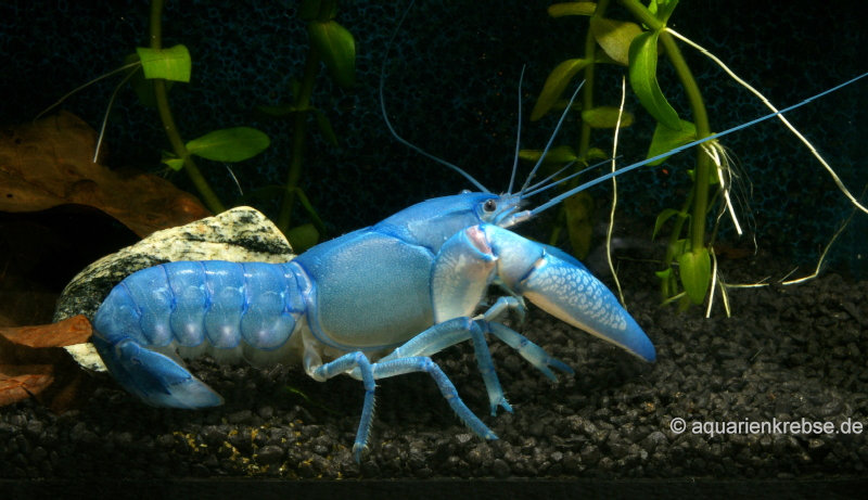 Cherax destructor blue pearl, yabby, yabbi,