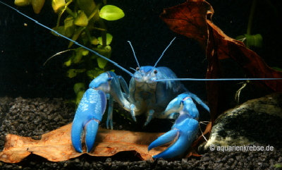 Cherax destructor, yabby, yabbi